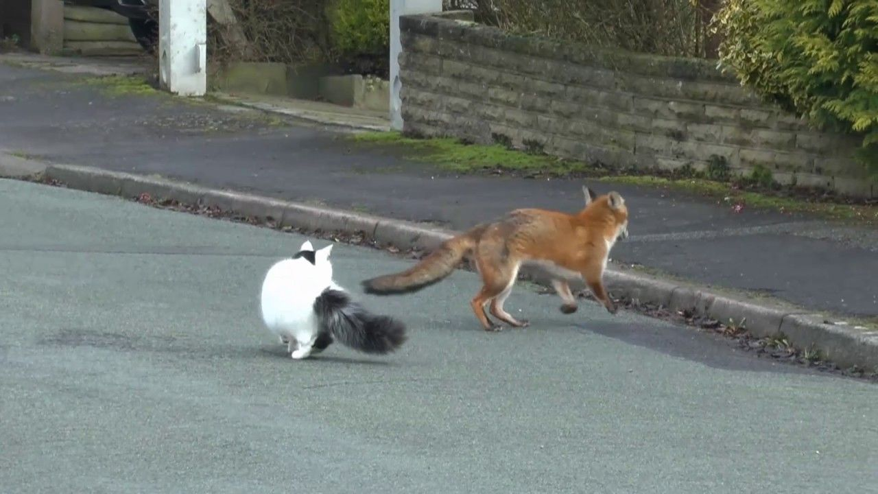 fox and cat playing together YouTube in 2020 Fox, Cat