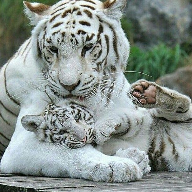 Pin By Lynne Frances On Pretty Animals Beautiful Pet Tiger Animals