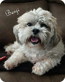 Shih Tzu Dog For Adoption In Walterboro South Carolina Benji