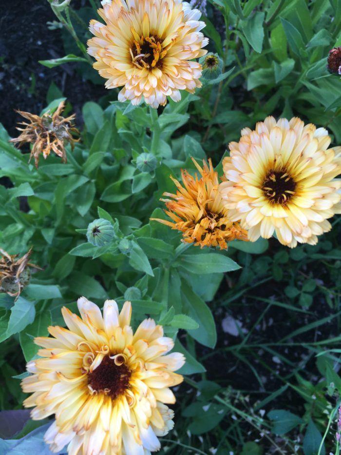 Calendula Officinalis (Pot Marigold) Growing + Benefits