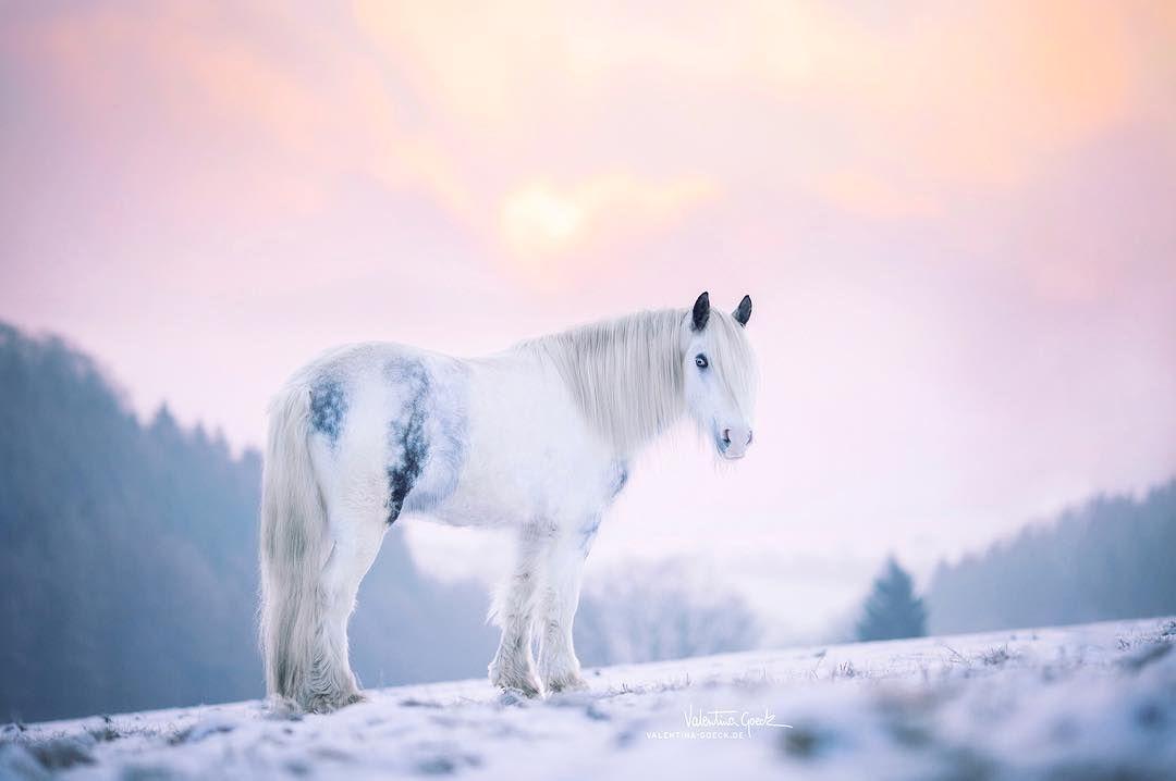Der Schone Blue Beautiful Blue Tinkerpony Tinkerpferd Tinker Gypsyhorse Gypsyvanner Winterfarben Sauerlan Pferde Im Schnee Tinker Pferd Schecken