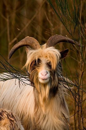 All Things Bright And Beautiful Animals Goats Animals With Horns