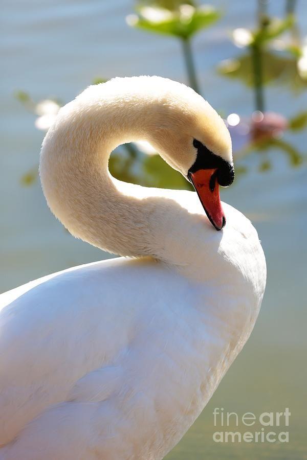 S Is For Swan By Carol Groenen Animals Beautiful Swan Birds