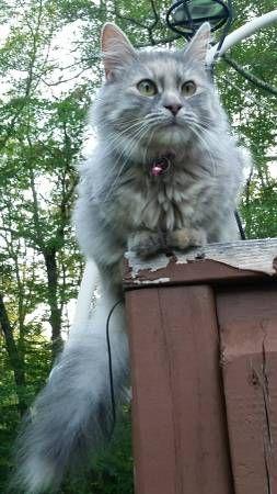 prev next favorite this post MISSING CAT! (Oakdale) hide ...