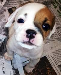 Image Result For Cockerbull English Bulldog Dog Beagle Mix