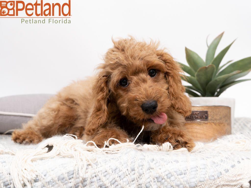 Petland Florida has Mini Goldendoodle puppies for sale