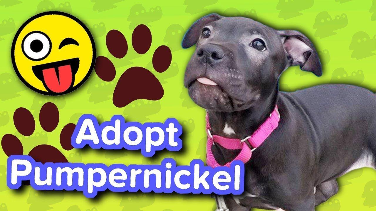 Adopt Pumpernickel Pitbull Puppy Adoptable Featurette