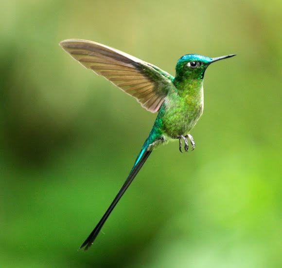 Hummingbirds Ready For Their Return Hummingbird Sylphs Pet Birds