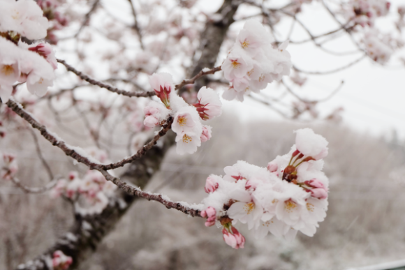 Snow Sakura Spring And Winter Collide As Frost And Cherry Blossoms Mingle In Japan Photos Japan Photo Cherry Blossom Japanese Nature