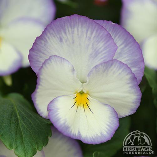 Viola cornuta Celestial Blue Moon