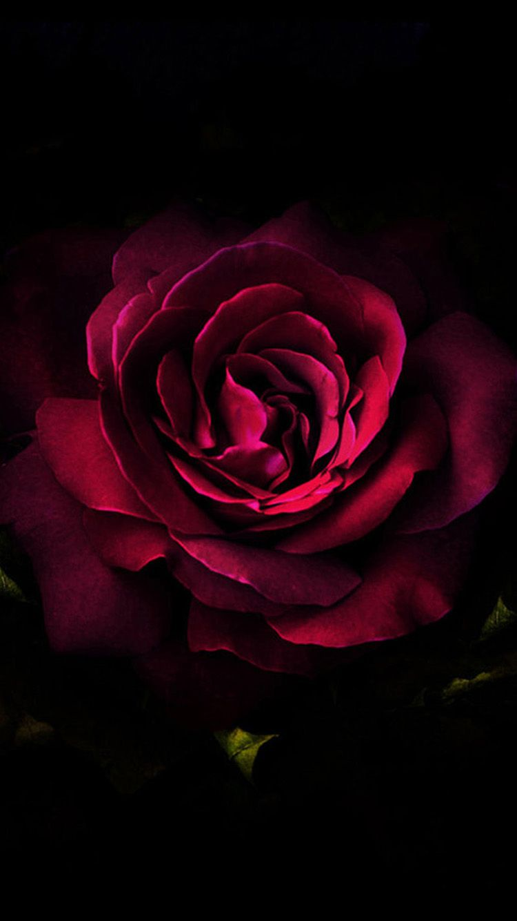 Alice Poe Iphone 6 Flower Wallpaper Red Roses Flower Wallpaper