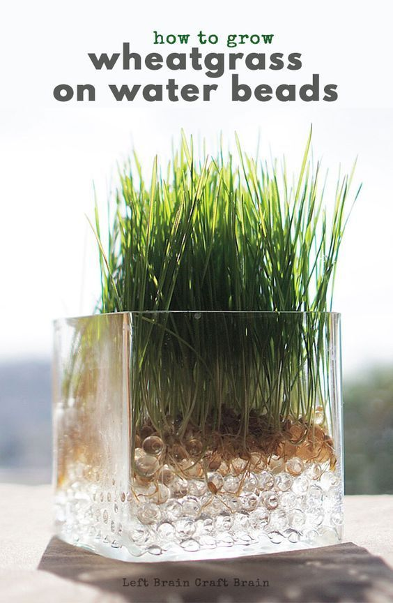 Super Easy Science How To Grow Wheatgrass On Water Beads Growing Wheat Grass Water Beads Planting For Kids