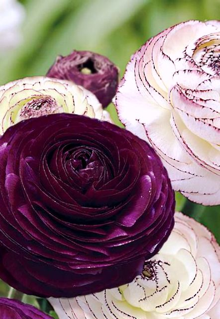 Purple Persian Buttercup Ranunculus Longfield Gardens Early Spring Flowers Bulb Flowers Beautiful Flowers