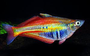 Real Rainbow Fish Google Search Rainbow Fish Freshwater Fish Fish