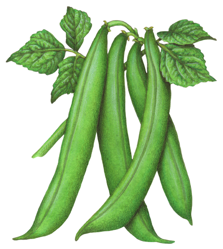 Botanical Illustration Of Four Green Beans On A Stalk With Leaves Vegetable Illustration Vegetables Stock Art