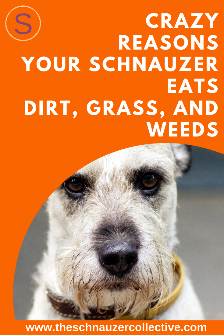 Pin On Schnauzer Facts