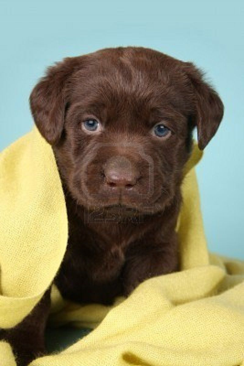 Female Chocolate Lab (Cookie) | Labrador Retriever | Pinterest ...