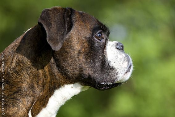Love Reverse Brindles 3 Guinness Baby Girl Estrela Mountain Dog Boxer Dog Id