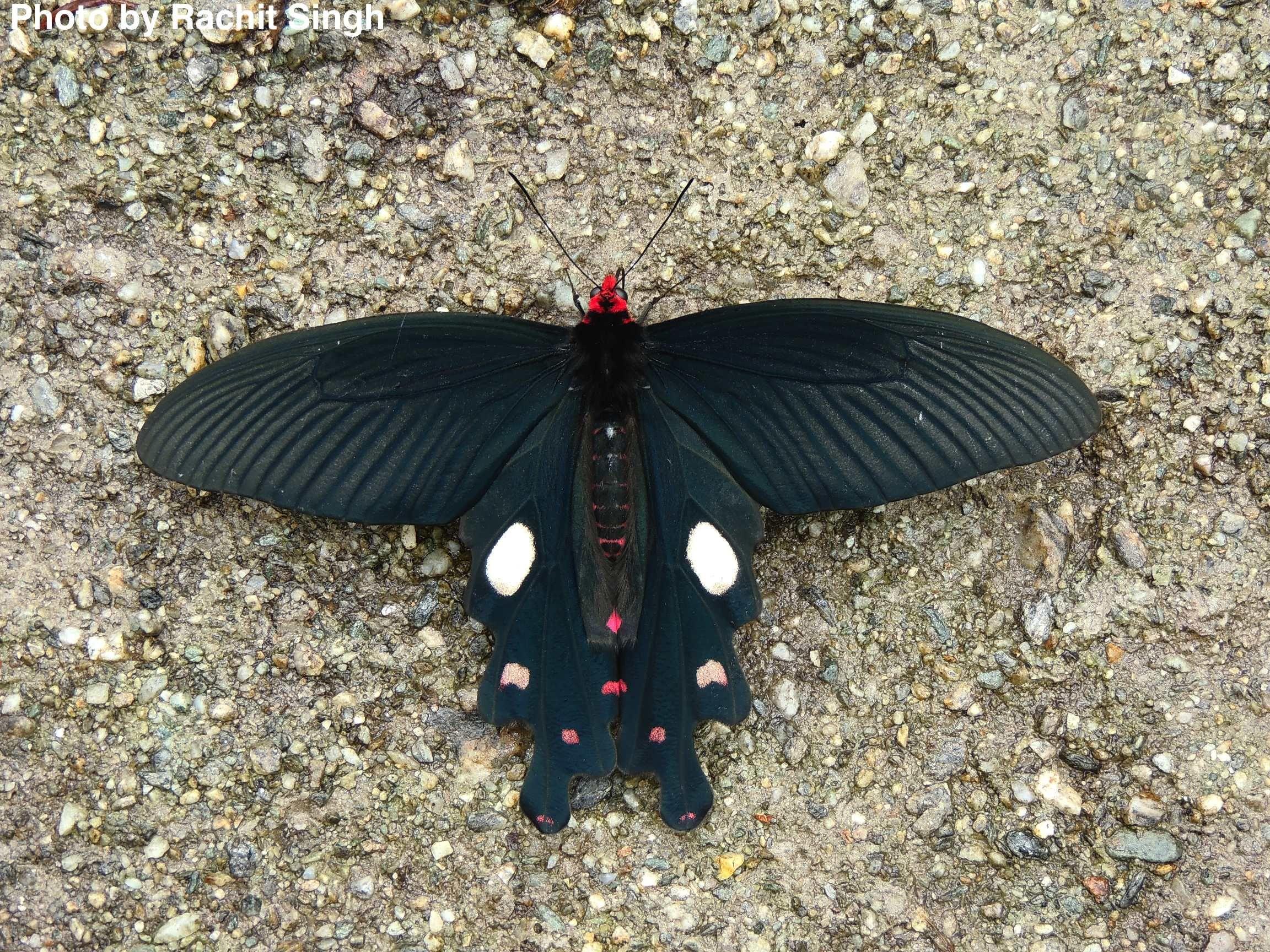 windmill swallowtail butterfly Swallowtail butterfly