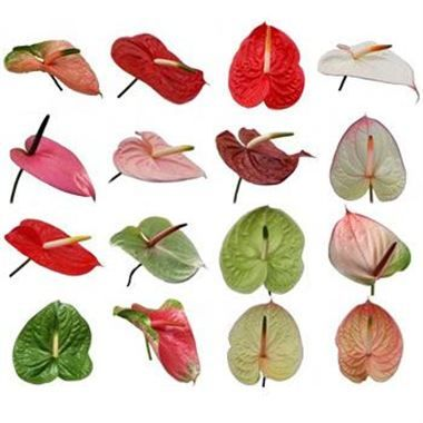 Anthurium Mixed Varieties X 10 Wholesale Flowers Florist Supplies Uk Saisonale Blumen Blumen Kreativ