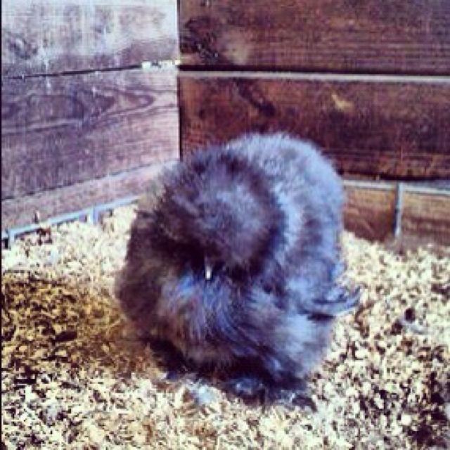 Blue Silkie Chicken Named Spooky Coming Home With Me Thursday 3 Silkie Chickens Chicken Names Chicken