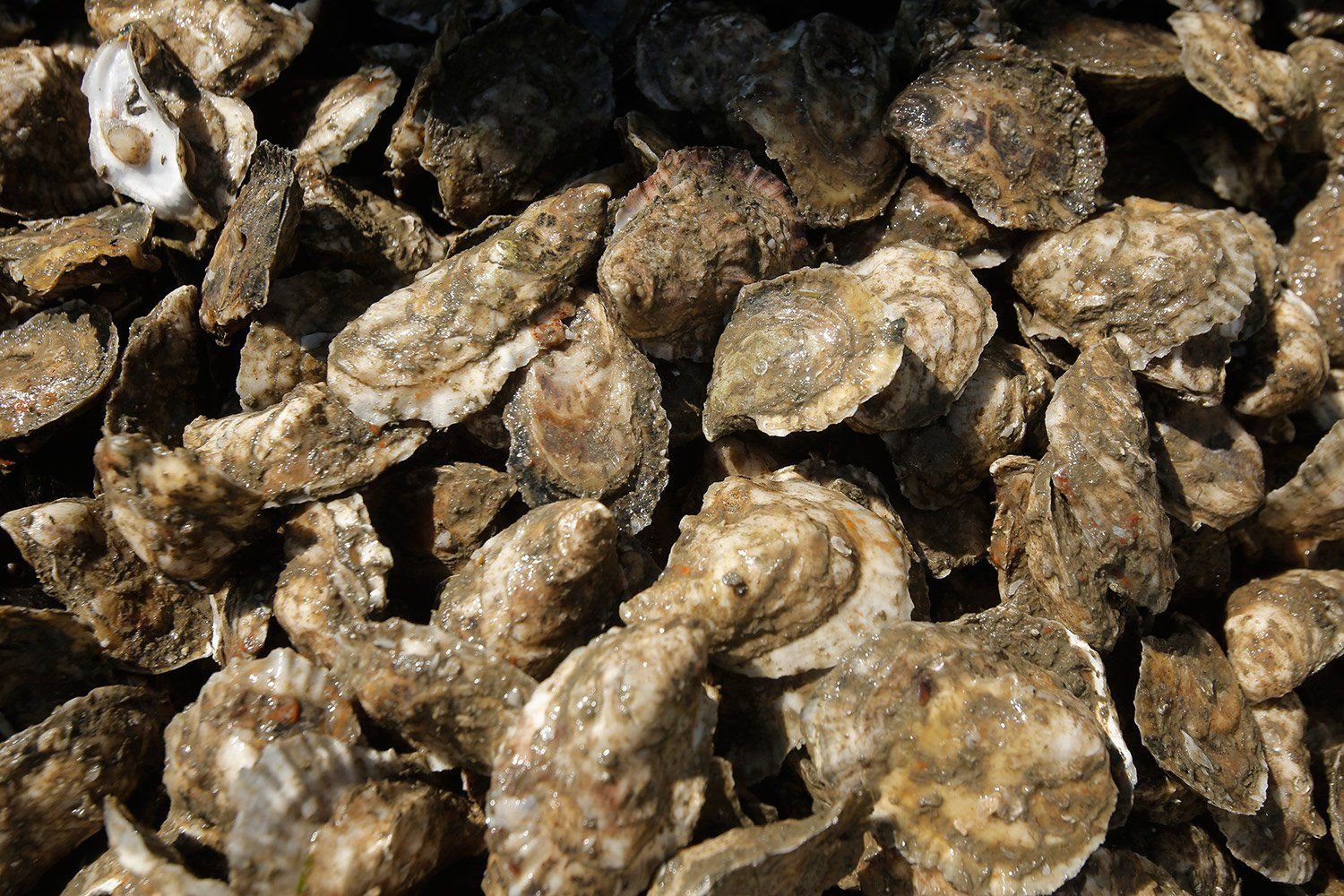 Oysters can truly help save the if we would only