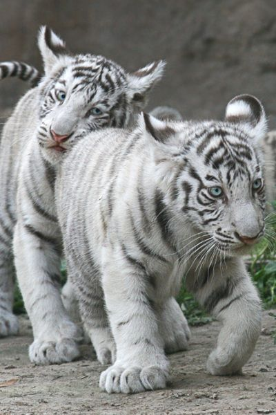 Cute white tiger cubs. exotic888imports.com We Also BUY ... Cute Siberian Tiger Shirt