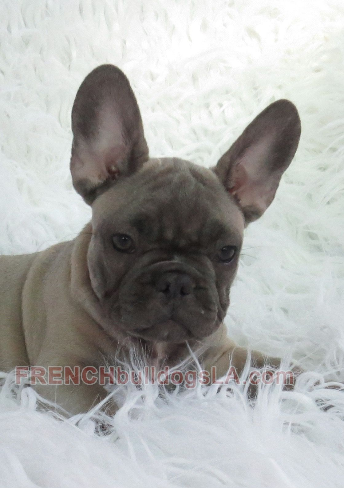 Blue Fawn French Bulldog Puppy 6 2 French Bulldog Bulldog Fawn French Bulldog