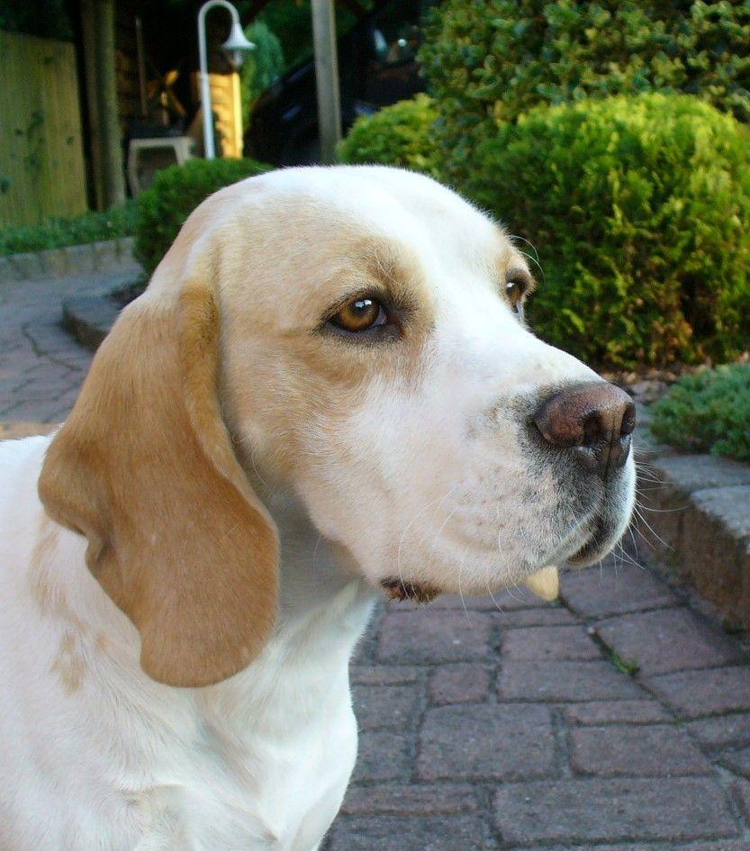 Lemon Beagle Beagle Buddies Beagle Breeds Cute Dog Pictures
