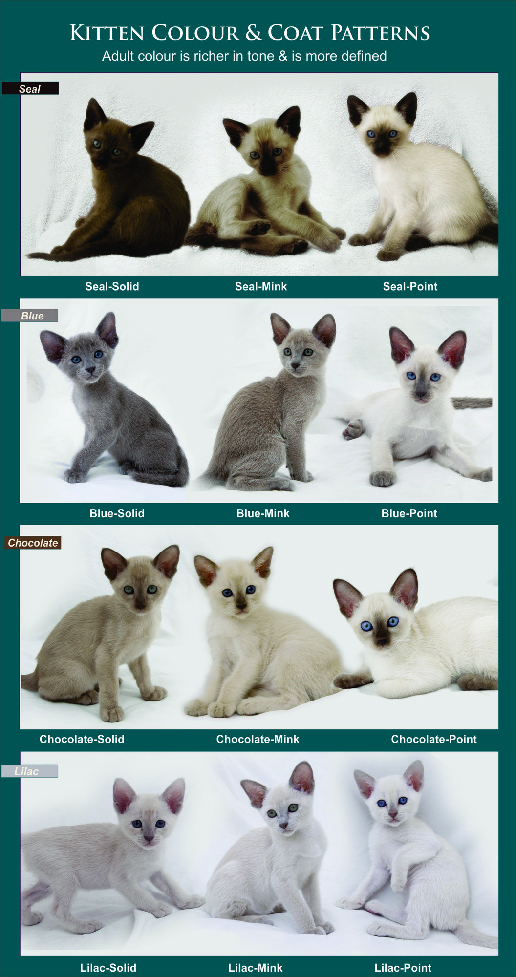 Coat Colour And Pattern Tonkinese Cats Kittens Queensland
