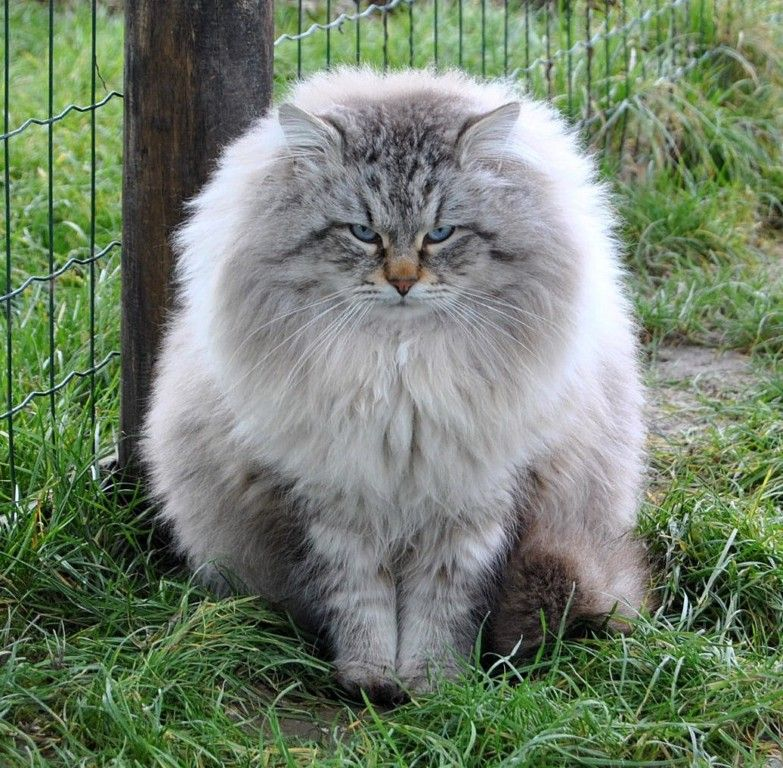 Male Siberian Cat From Italy Wait They Make Siberian Cats To Go With My Siberian Husky No Way Siberian Cat Siberian Forest Cat Cat Breeds