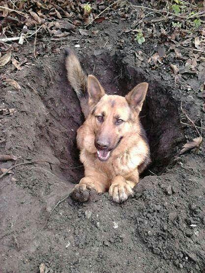 Now That S A Hole German Shepherd Dogs German Shepherd Funny Dogs
