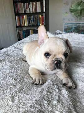French Bulldog Puppy For Sale In Charleston Sc Adn 67055 On