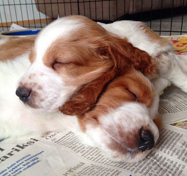Welsh Springer Spaniel Babies Welsh Springer Spaniel Puppies Welsh Springer Spaniel Springer Spaniel Puppies