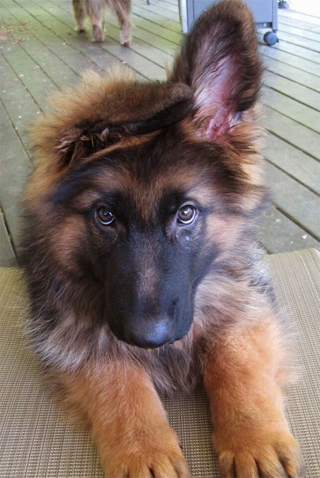 I love when they start up their ears Shepherd puppies