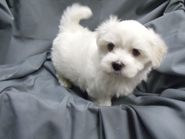 Litter Of 4 Maltese Puppies For Sale In Winston Salem Nc Adn