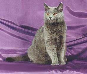 Chartreux Cats And Kittens Cute Cats Cat Breeds