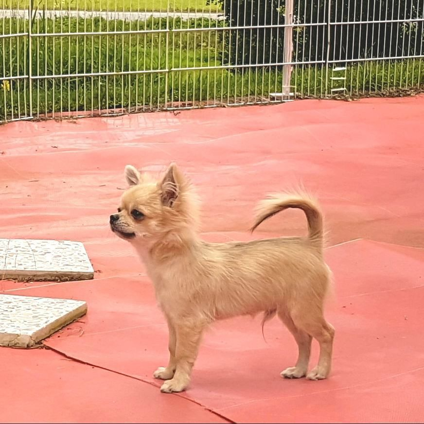Un Answered Problems With Chihuahua Puppies For Sale Near Me Chihuahua Puppies For Sale Akc Pu In 2020 Chihuahua Breeders Chihuahua Puppies For Sale Chihuahua Puppies