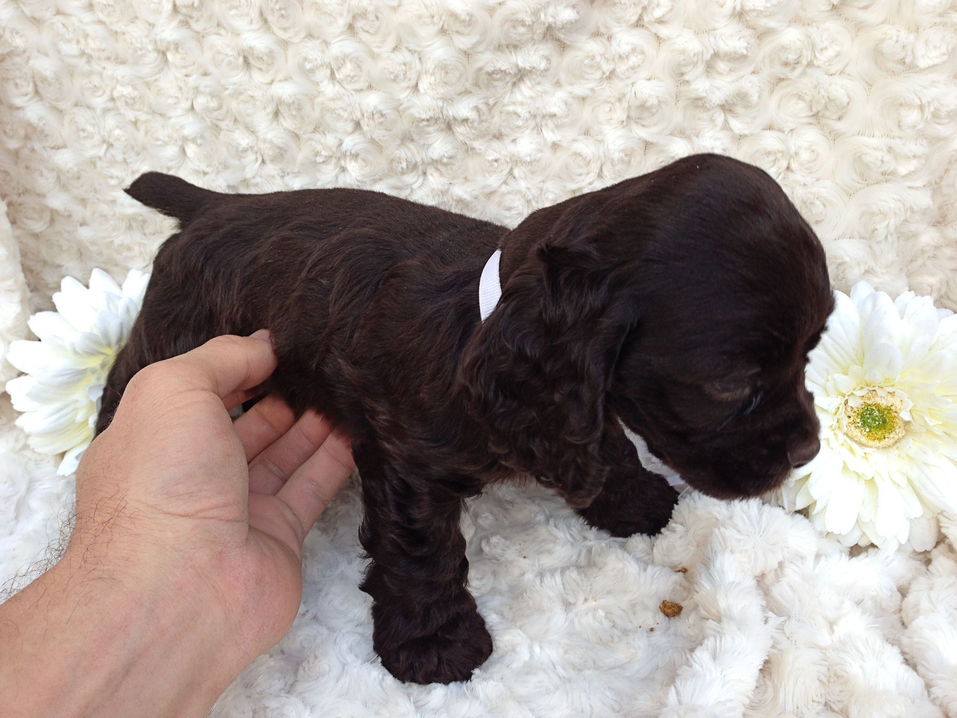 The Quickest Way To A Chocolate Cocker Spaniel S Heart Is Not Food It S Belly Scratches Daisy S White Chocolate Cocker Spaniel Puppies Spaniel Puppies