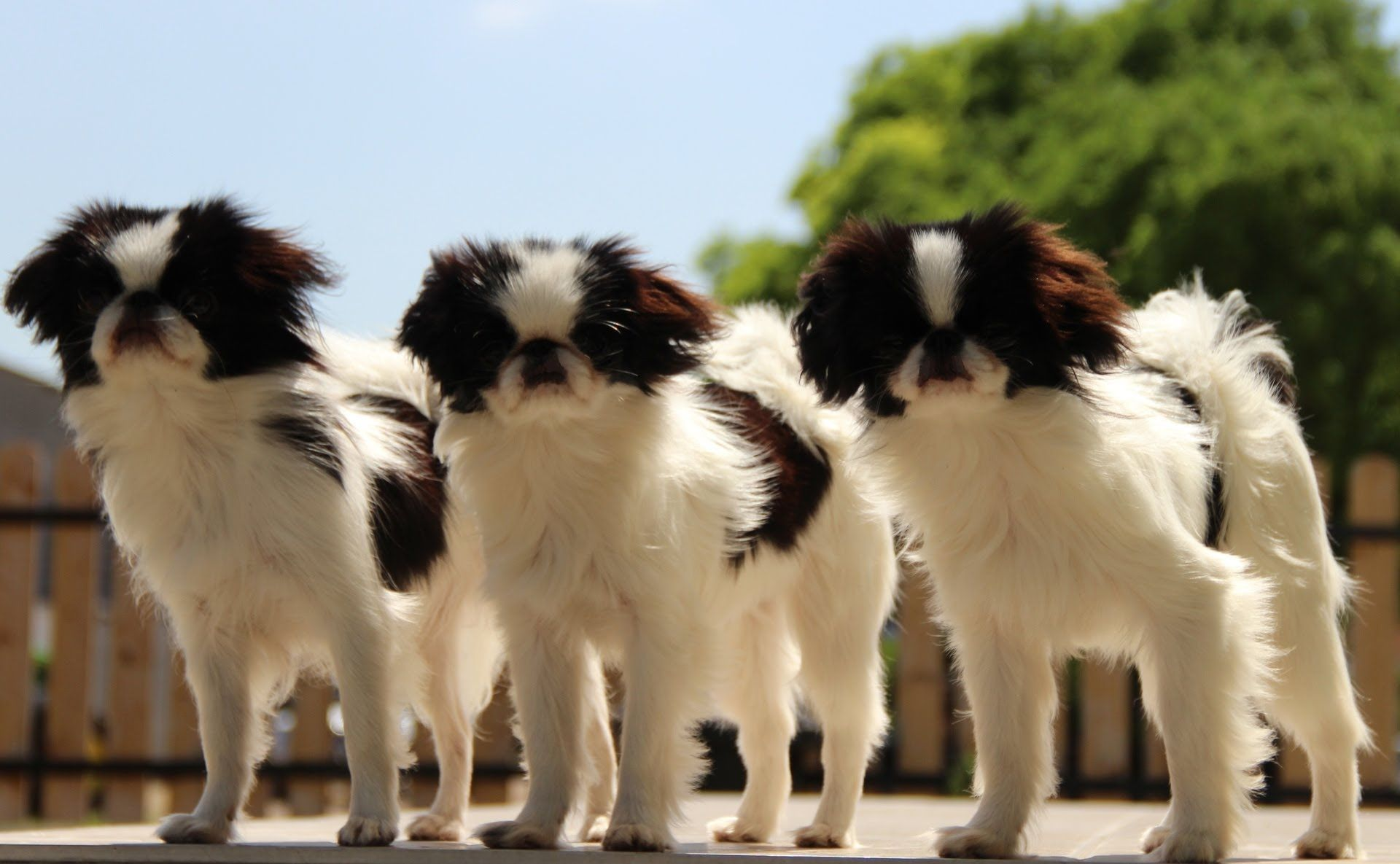 Japanese chin puppies for sale in lubbock texas tx