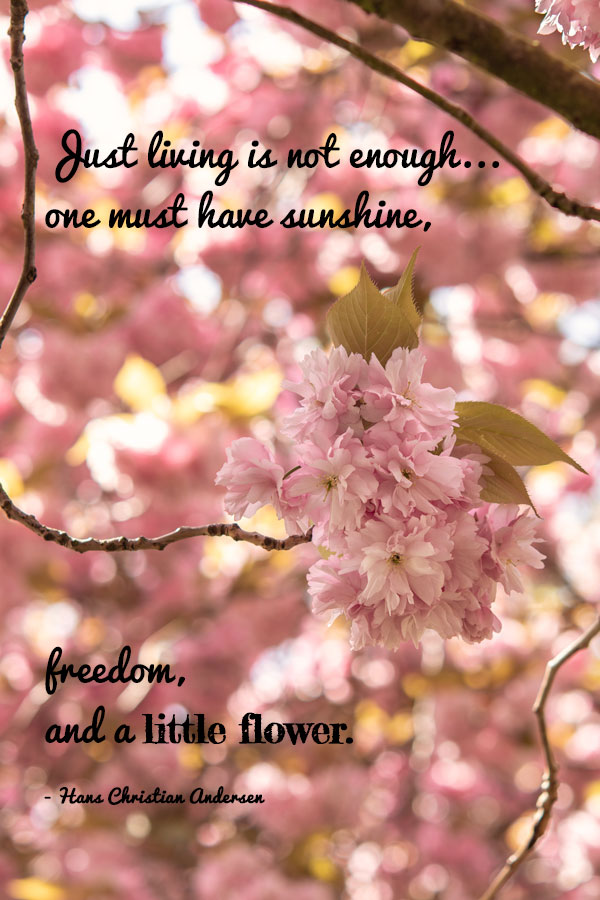A Daisy Chasing Cherry Blossoms A Pink Explosion Daisy Thyme Blossom Quotes Cherry Blossom Quotes Cherry Blossom
