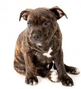 nanny dog staffordshire terriers #nanny #dog #staffordshire #terriers - nanny dog staffordshire terriers