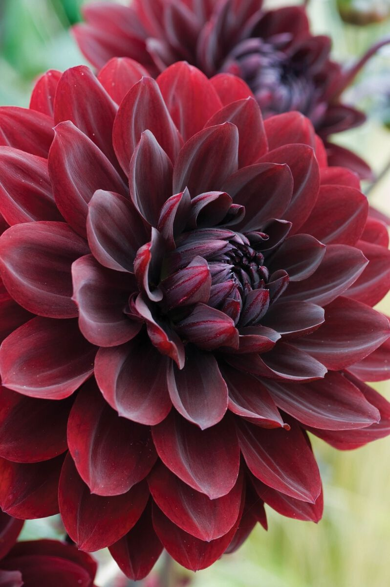 Dahlia Arabian Night By Woolmans Flowers Dahlia Bloemen