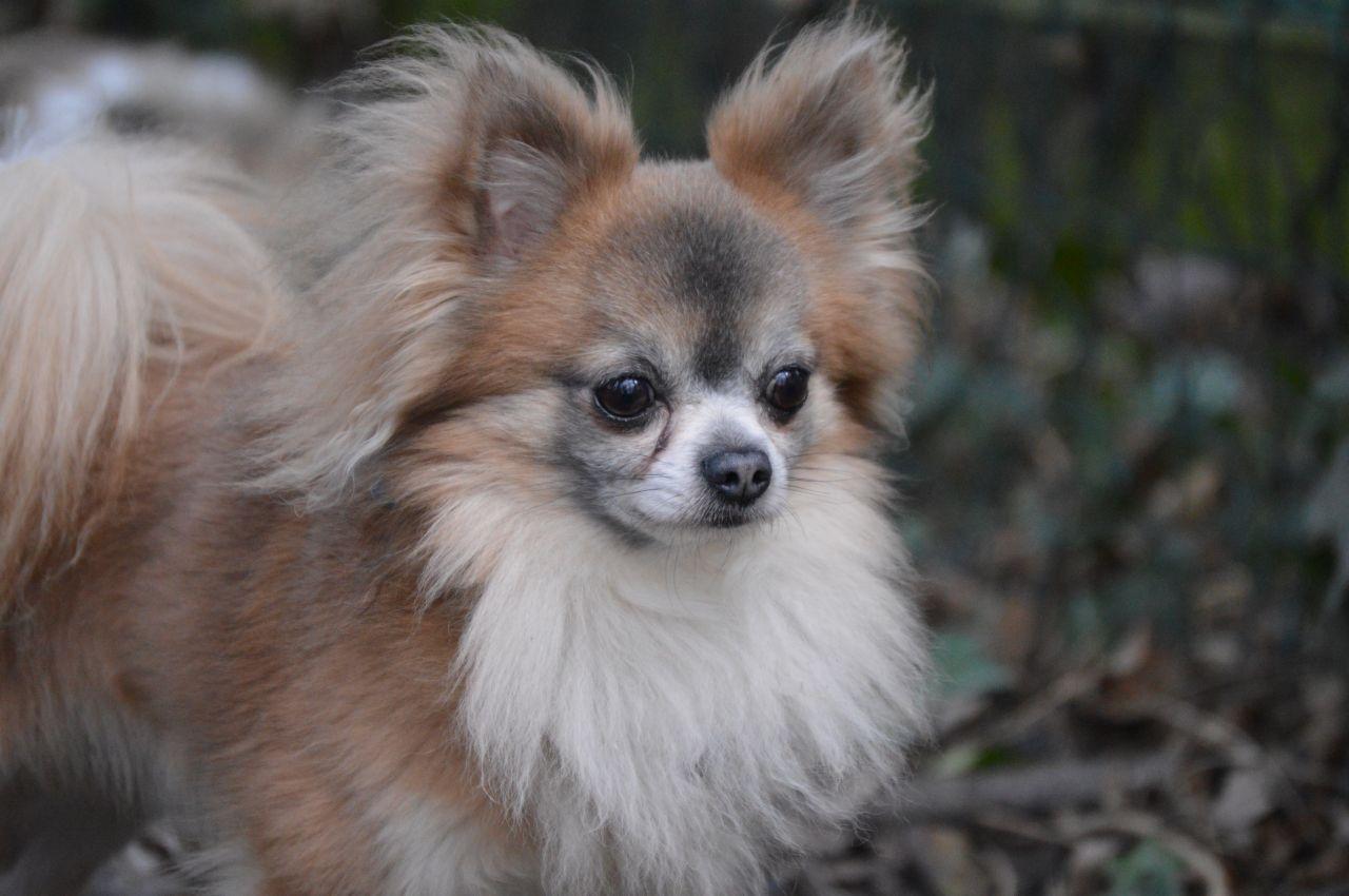 Gorgeous Blue Fawn Chihuahua Kc Reg Stud Chihuahua Blue
