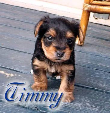 Timmy Akc Parti Carrier Yorkshire Terrier Puppy Yorkshire Terrier Puppies Yorkshire Terrier Terrier Puppy