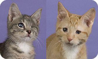 Chicago Il Domestic Shorthair Meet Dusty Kitten Adoption Cat Adoption Pet Adoption