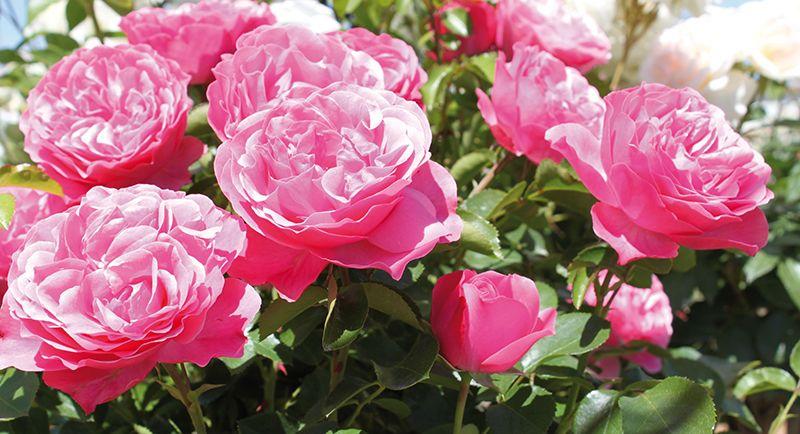 Beetrose Leonardo Da Vinci Tom Garten Saatgut Blumen Blumenzwiebeln Und Pflanzen Per Post Tom Garten Pflanzen Rosen