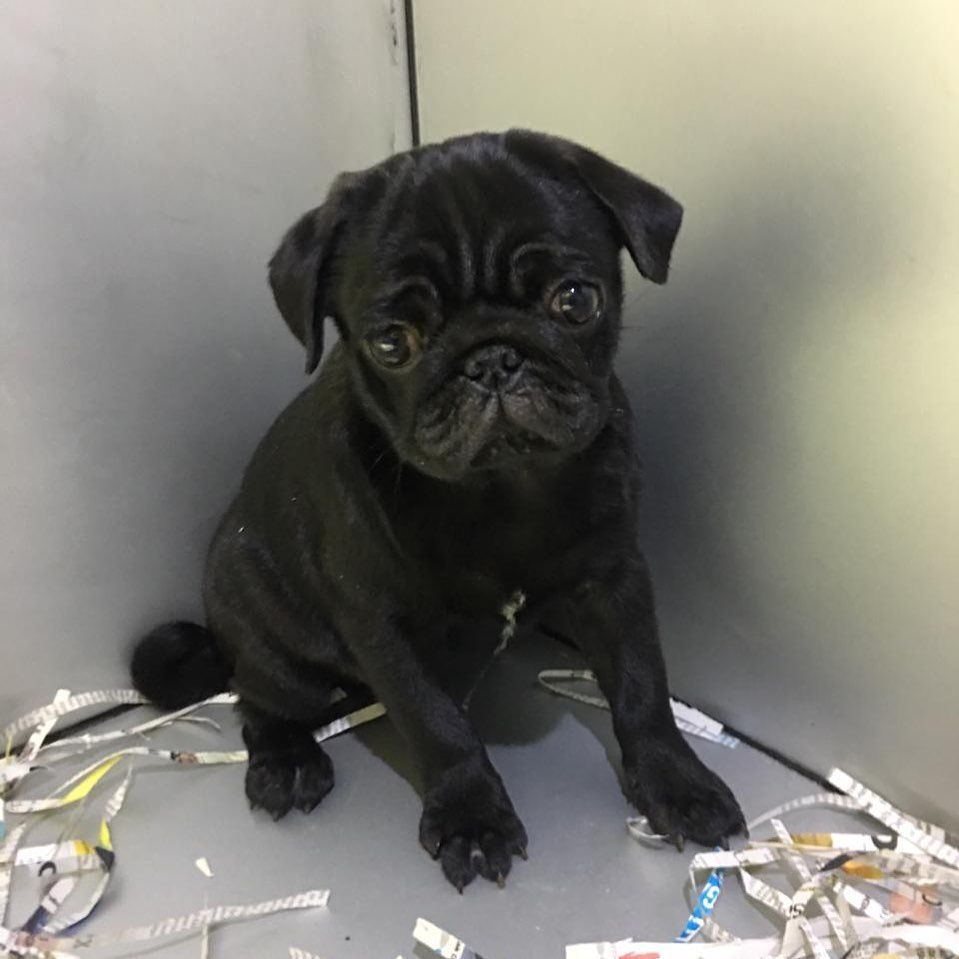 Imported And Home Breed Pug Puppies For Order And For Sale We