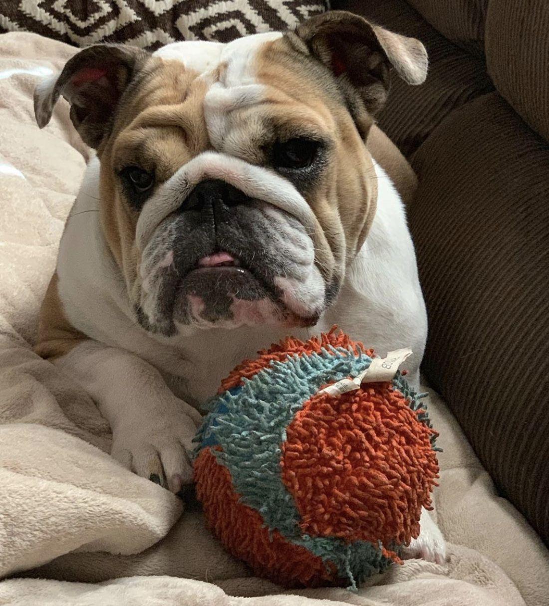 Pin by Traci on bulldogs Bulldog, English bulldog, Hound dog