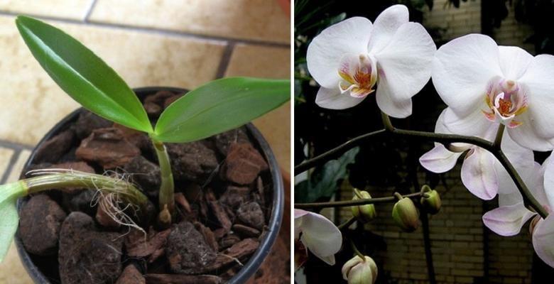Voici Comment Faire Refleurir Une Orchidee Fanee Avec Images